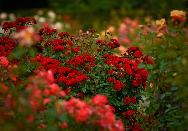 Roses, Christchurch Botanic Gardens<br /> © Douglas Remington - Ethereal Light Photography, LLC. All Rights Reserved. Do not copy or download.