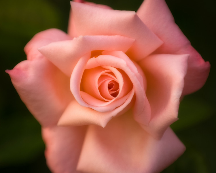 Pink Tea Rose<br /> © Douglas Remington - Ethereal Light Photography, LLC. All Rights Reserved. Do not copy or download.