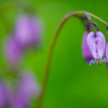 Wild bleeding hearts<br /> <br /> © Douglas Remington - Ethereal Light® Photography, LLC. All Rights Reserved. Do not copy or download