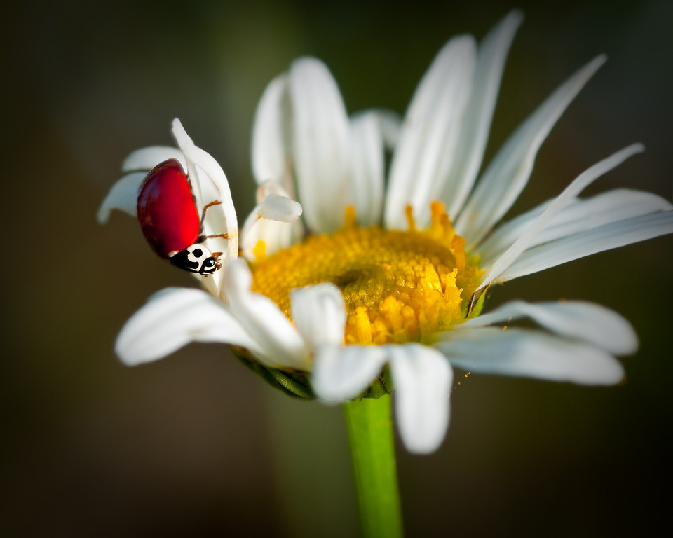 ladybug on daisy<br /> © Douglas Remington - Ethereal Light Photography, LLC. All Rights Reserved. Do not copy or download.