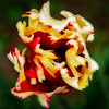 Parrot tulip<br /> © Douglas Remington - Ethereal Light Photography, LLC. All Rights Reserved. Do not copy or download.