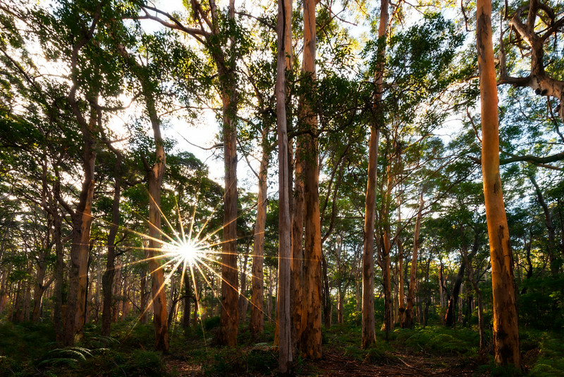 Karri forest sunstar