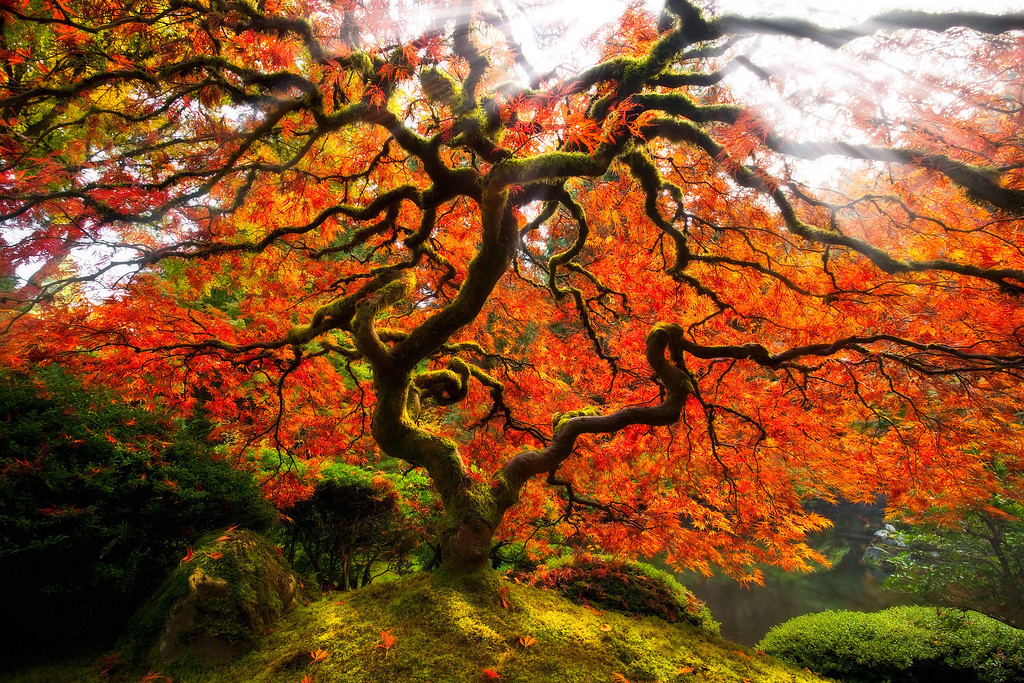 The Serpent Tree イロハモミジ, 蛇の木, <br /> © Douglas Remington - Ethereal Light® Photography, LLC.  All Rights Reserved. Do not copy or download.