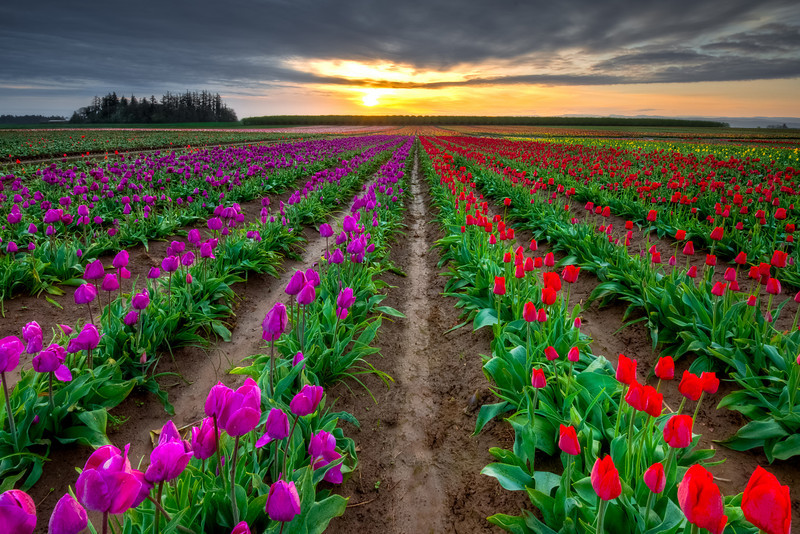 Tulips at Sunrise, Wooden Shoe Tulip Farm, Oregon<br /> © Douglas Remington - Ethereal Light Photography, LLC.  All Rights Reserved. Do not copy or download.