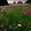 Wild flowers, Oregon Coast.
