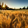 Golden hour. Wheat and sunstar, Western, Oregon.