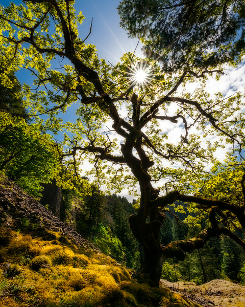 Sunstar oak, Columbia River Gorge