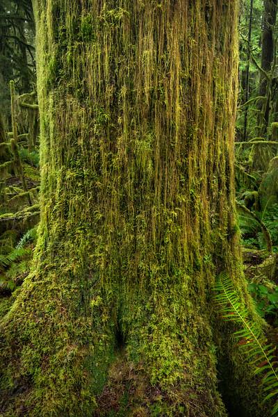 The mossy tree