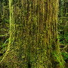 The mossy tree