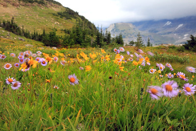 Wildflowers near Logan Pass