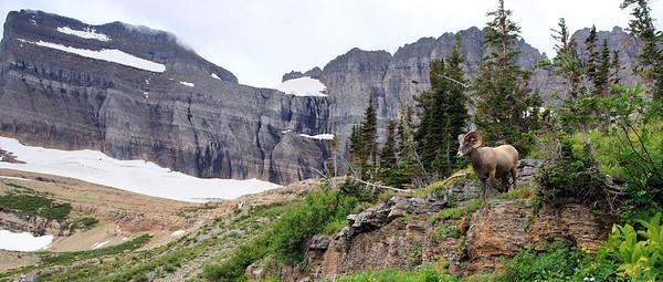 Bighorn at Grinnell Glacier