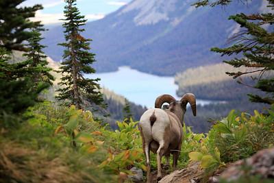 Grinnell Glacier BIghorn Sheep