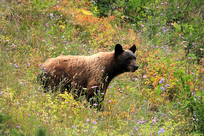 Black Bear in the Many Glaciers Area