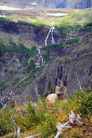 Bighorn Ram resting below Grinnell Glacier