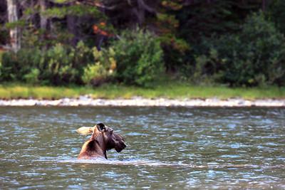 Moose swimming in Many Glacier Area