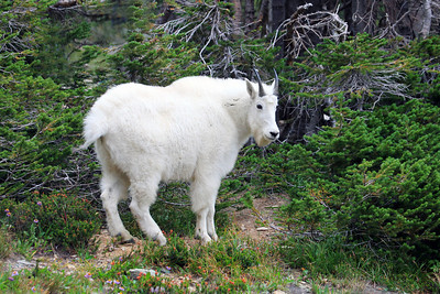 Mountain Goat near the Visitors Center at Logan Pass