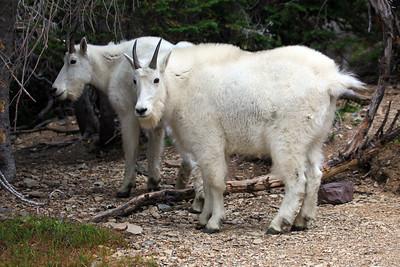 Mountain Goats at Logan Pass near Hidden Lake