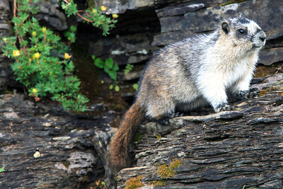 Marmot near Logan's Pass