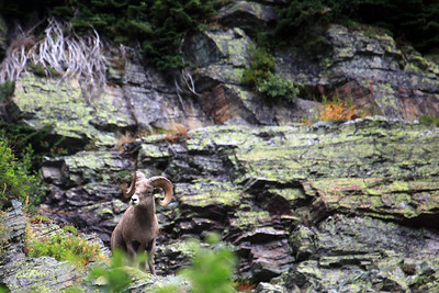 Bighorn Ram looking out