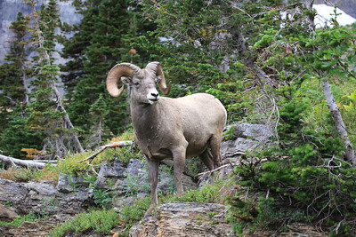 Bighorn Ram in Glacier National Park near Many Glacier