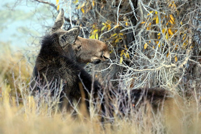 A Moose in the Moose Wilson Road area