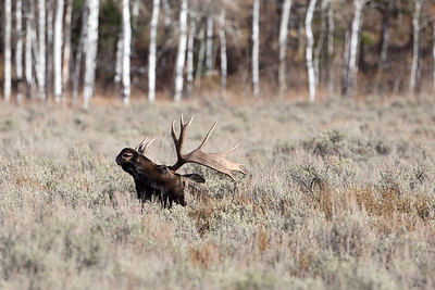 Bull Moose stretching for a view