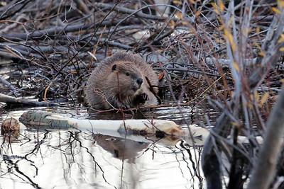 Beaver making repairs to it's dam