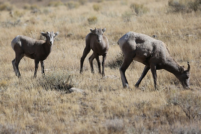 A small group of Bighorn Sheep in the Elk Reserve
