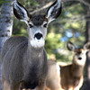 Mule Deer near Horn Creek Lodge