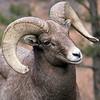 Bighorn Ram near Estes Park Colorado
