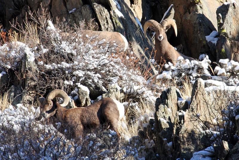 Bighorn Rams near Estes Park