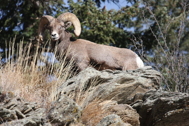 BIghorn Sheep outside Estes Park Colorado