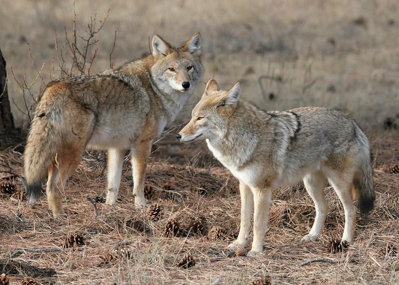 Coyote pair in RMNP
