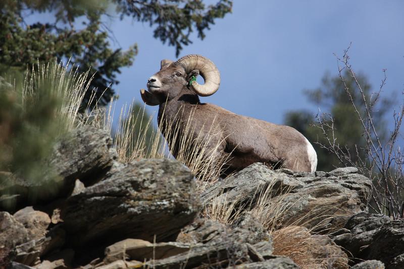 Bighorn Ram posing along Big Thompson Road Colorado