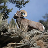 Bighorn Ram posing along Big Thompson Road Colorado