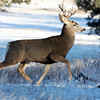 Mule Deer on the run