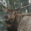 Bull Elk near YMCA of the Rockies