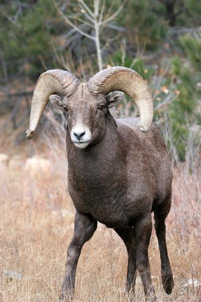 BIghorn Ram in Estes Park