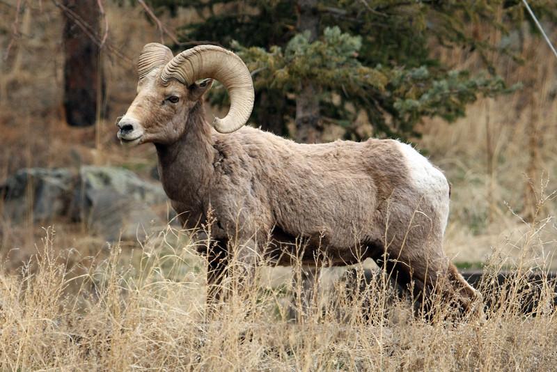 Bighorn Rams near Estes Park Colorado