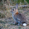 Rabbit at YMCA of the Rockies