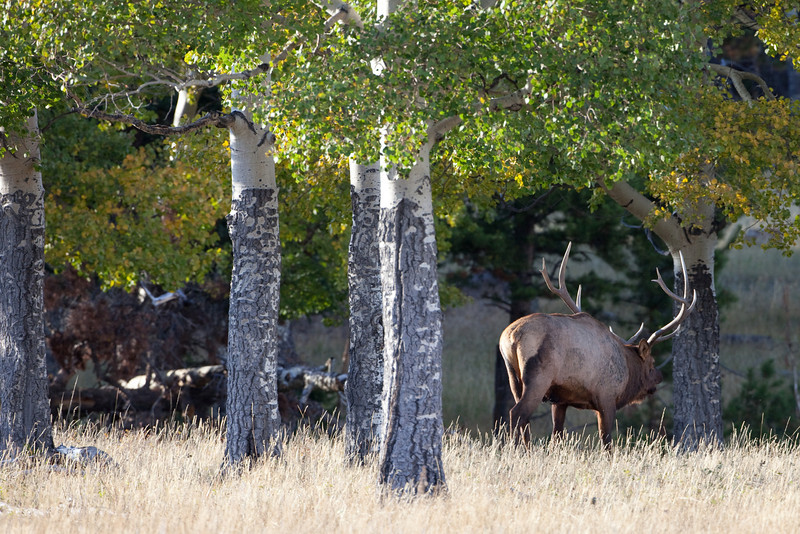 Retreating Elk