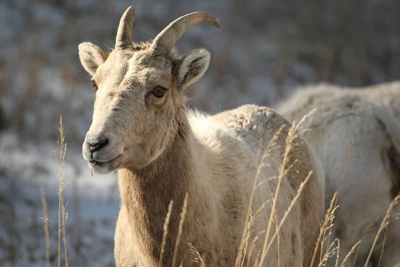 Juvenile Bighorn in Estes Park