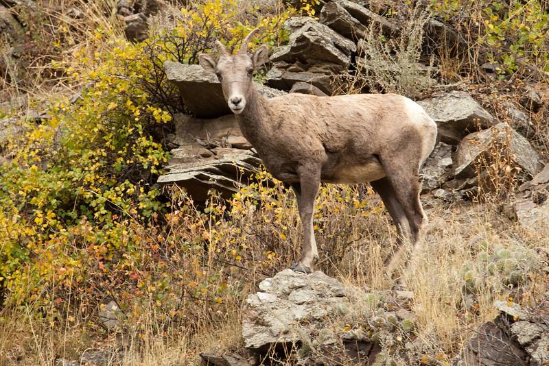 Juvenile Bighorn