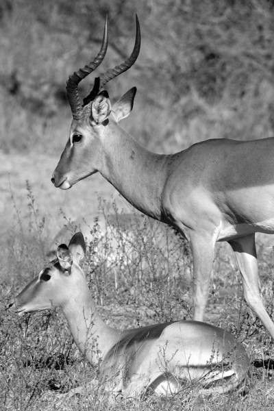Black and White Antelope Kruger