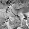 Black and White Antelope Kruger