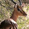Antelope Kruger