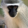 Vervet Monkey Kruger National Park