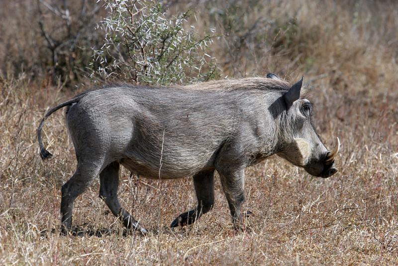 Wart Hog Kruger