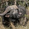 Water Buffalo Kruger