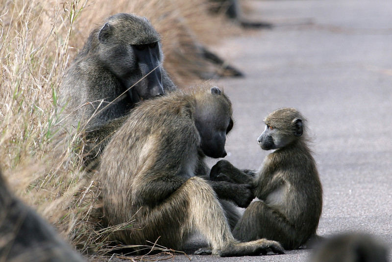 Baboon Family Kruger